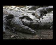 Screenshot programu Crocodiles Screensaver 2 1.0