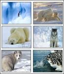 Screenshot programu Polar Animals Screensaver 1.0